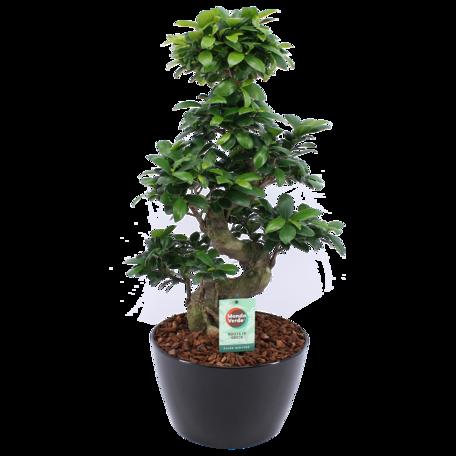 Bonsai - Hoogte: 70 cm - met zwarte keramieke sierpot - Ficus ginseng