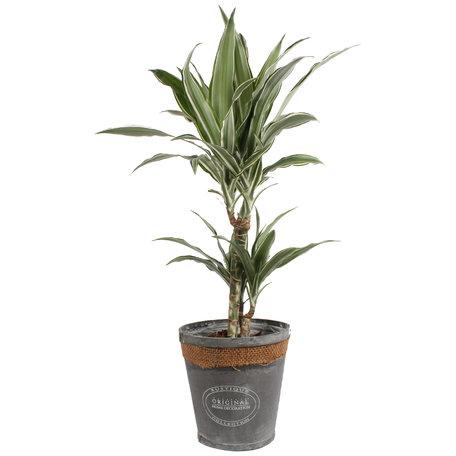 Drakenboom in grijze chipwood pot - Hoogte: 70 cm - Dracaena dermensis Warneckei - Een forse groene aanwinst