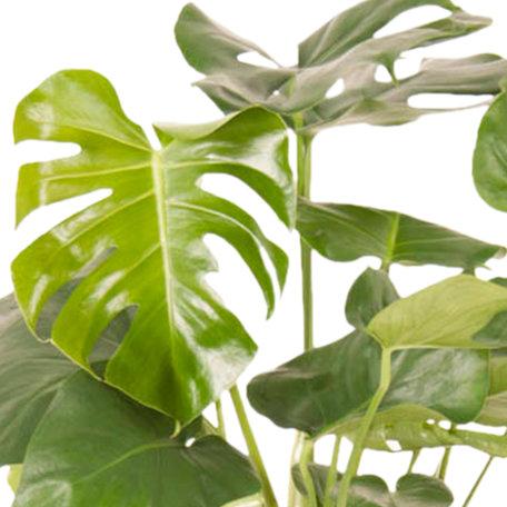 Monstera - Hoogte: 70 cm - Monstera Deliciosa - Een statement in jouw interieur - luchtzuiverend
