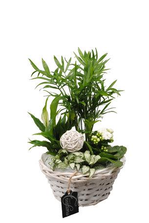 Arrangement Basic creatie in mand wit (Chamaedoria, Spathiphyllum, Fittonia en een Kalanchoe) - Hoogte: 35 cm