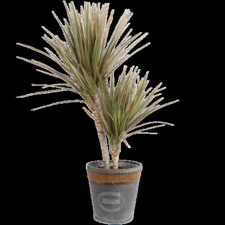 Drakenbloedboom tweekleurig in grijze chipwood pot - Hoogte: 75 cm - Dracaena marginata Bicolour - luchtzuiverend
