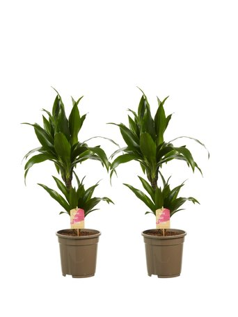 2 x Drakenbloedboom - Hoogte: 70 cm - Dracaena deremensis Janet Graig - luchtzuiverend