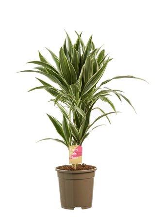 Drakenboom (white stripe) - Hoogte: 60 cm - Dracaena dermensis - luchtzuiverend