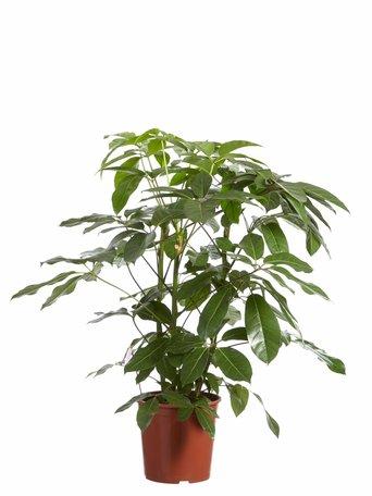 Vingersboom - Hoogte: 125 cm - Schefflera Amate Schefflera Amate - Met Fair Flora label: eerlijk en duurzaam.