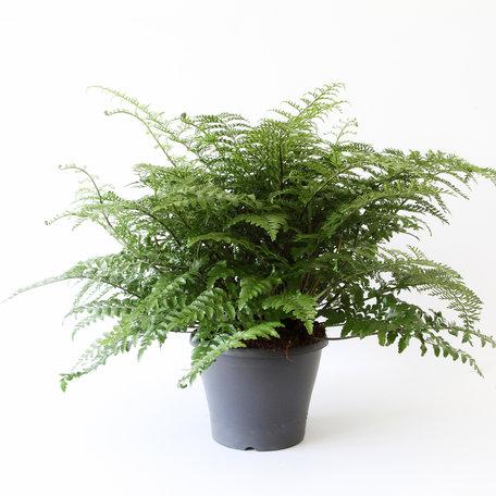 Nestvaren - Hoogte: 50 cm - Asplenium Parvati