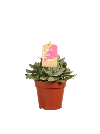3 x Vetplant - Hoogte: 20 cm - Senecio cephalophorus - Met Fair Flora label: eerlijk en duurzaam.