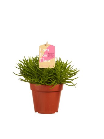 3 x Vetplant - Senecio archeri himalaya - Hoogte: 20 cm - Met Fair Flora label: eerlijk en duurzaam.