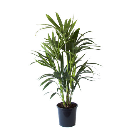 Kentia Palm - Hoogte: 90 cm - Howea Forsteriana - Een sfeervolle luchtzuiverende Palm