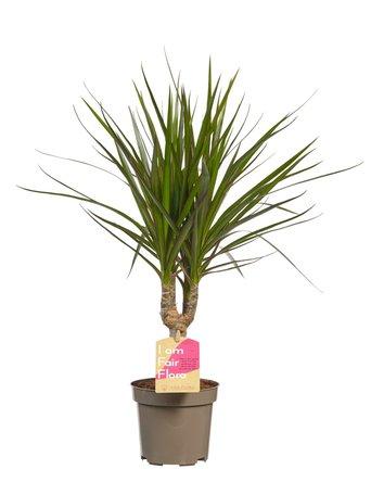 3 x Drakenboom - Hoogte: 45 cm - Dracaena Marginata Mix - Extreem makkelijk te verzorgen en luchtzuiverend!