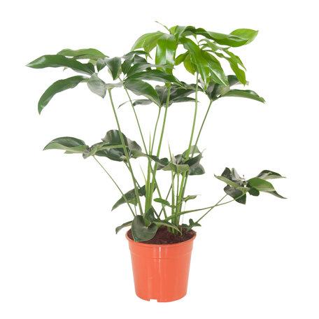 Philodendron - Hoogte: 80 cm - Green Wonder - Luchtzuiverend