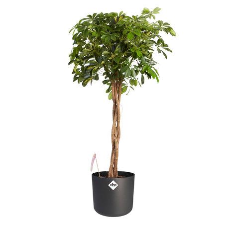 Vingersboom met antraciet ELHO b.for soft sierpot - Hoogte: 110 cm - Schefflera Goud Capella - Met Fair Flora label: eerlijk en duurzaam.