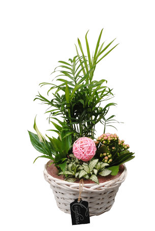 Arrangement Basic creatie in mand roze - 35 CM hoog - Chamaedoria, Spathiphyllum, Fittonia en een Kalanchoe