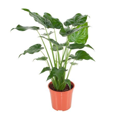 Olifantenoor - Hoogte: 100 cm - Alocasia Cucullata - Exotische bladplant met pijlvormig bladeren