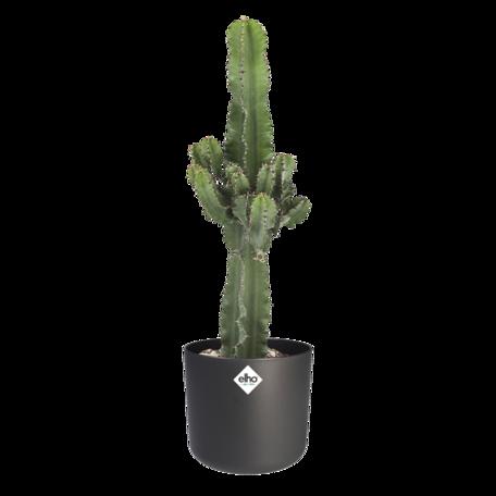Euphorbia cactus met ELHO b.for soft sierpot als set - Hoogte: 70 cm - Euphorbia ingens