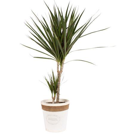 Dracaena Marginata in witte chipwood pot - Hoogte: 75 cm - luchtzuiverende kamerplant
