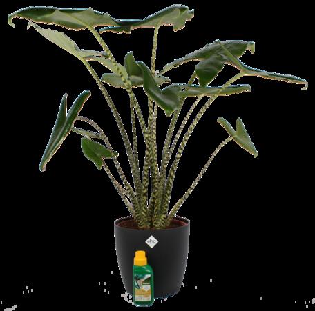 Olifantenoor (Alocasia Zebrina) met ELHO sierpot (zwart) & flesje Pokon - Hoogte: 100 cm - Gestreepte stelen en scherpe lijnen in het blad