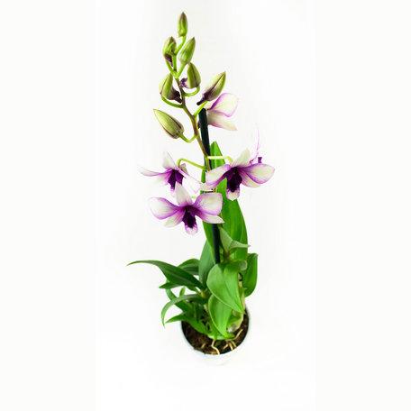 2 x Bamboeorchidee paars en wit - Hoogte: 55 cm - Dendrobium Sa-Nook