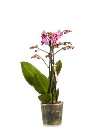 Orchidee - Paars - Hoogte: 50 cm Hoogte: Phalaenopsis multiflora - Met Fair Flora label