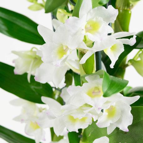Bamboe Orchidee wit - 3 takken - Hoogte: 50 cm - Dendrobium Nobil©