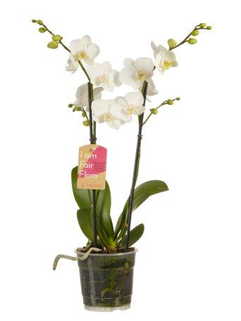 2 x Vlinderorchidee wit - Hoogte: 50 cm - Phalaenopsis multiflora