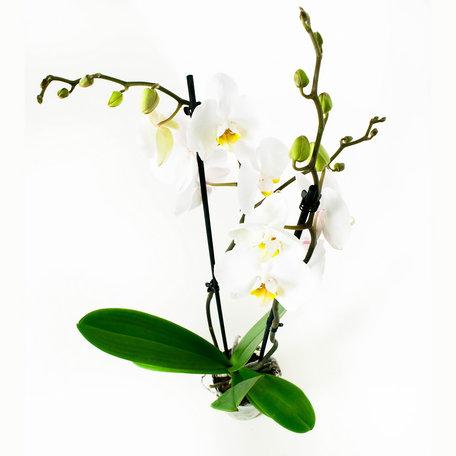 2 x Vlinderorchidee wit - Hoogte: 60 cm - Phalaenopsis 'Lente'