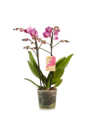 2 x Vlinderorchidee paars - Hoogte: 50 cm - Phalaenopsis multiflora