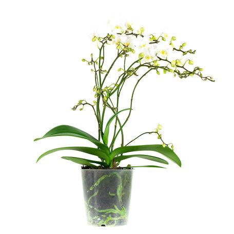 Vlinderorchidee wit - Hoogte: 50 cm - Phalaenopsis multiflora 'Soft Cloud'