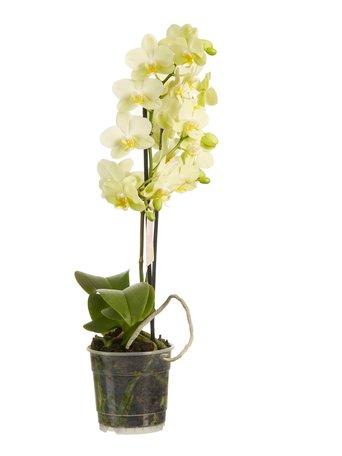 Orchidee - Geel - Hoogte: 50 cm Hoogte: Phalaenopsis multiflora