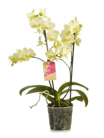2 x Vlinderorchidee geel - Hoogte: 50 cm - Phalaenopsis multiflora