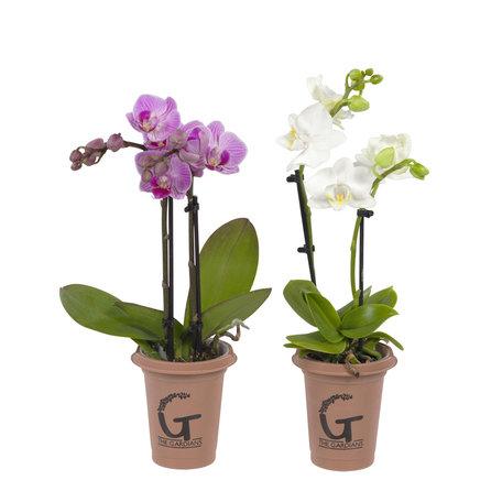 2 x Orchidee