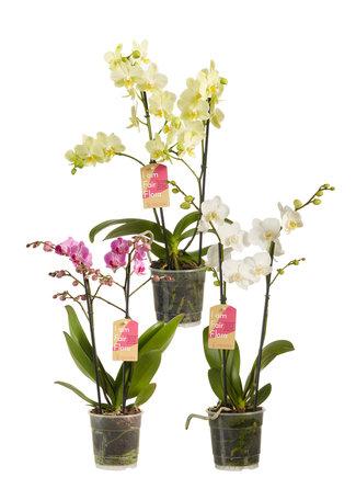 3 x Vlinderorchidee in verschillende kleuren - Hoogte: 50 cm - Phalaenopsis multiflora