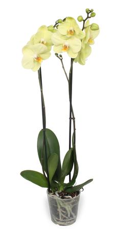 2 x Vlinderorchidee Alassio - Hoogte: 65 cm - Phalaenopsis Alassio