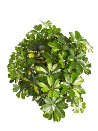 Vingersboom met witte ELHO b.for soft sierpot - Hoogte: 110 cm - Schefflera Goud Capella - Met Fair Flora label: eerlijk en duurzaam.