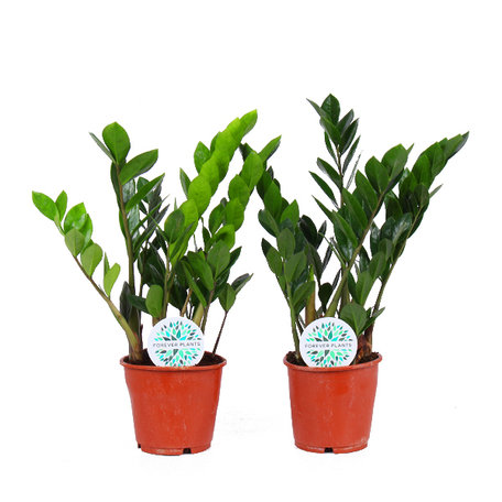2x Zamioculcas - Hoogte: 55cm - kruidachtige plant