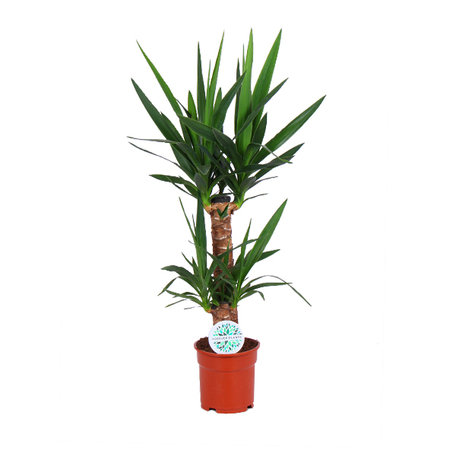 Palmlelie - Yucca - Hoogte: 80 cm - 2 takken