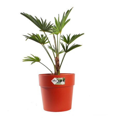 Wagner palm - Hoogte: 75cm - Trachycarpus Wagneriana met ELHO sierpot