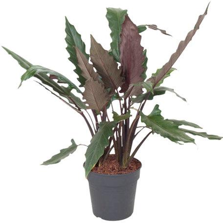 Olifantenoor - Hoogte: 100 cm - Alocasia Lauterbachiana