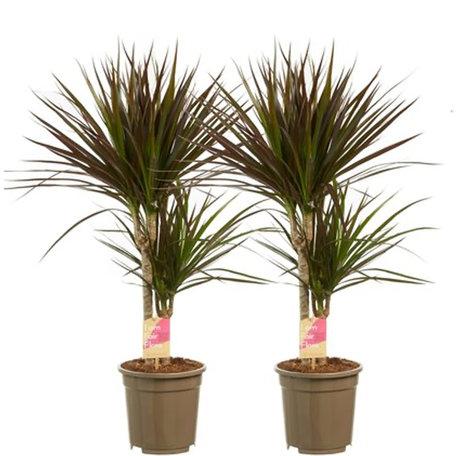 2 x Drakenboom - Hoogte: 80 cm - Dracaena marginata Margenta - luchtzuiverend