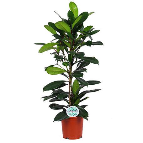 Afrikaanse vijgenboom - Hoogte: 100cm - Ficus Cyathistipula