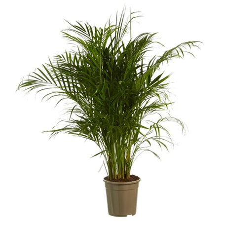 Goudpalm - Hoogte: 125 cm - Dypsis lutescens - luchtzuiverend