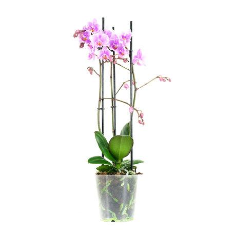 Vlinderorchidee - Phalaenopsis Multiflora Rosanna - Hoogte: 40cm - roze