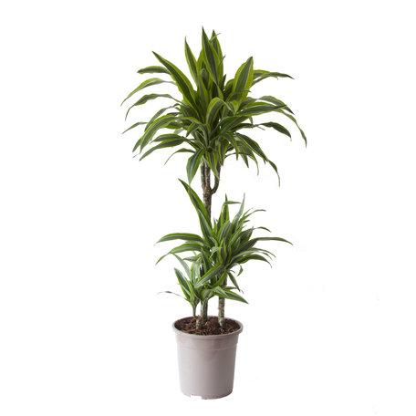 Drakenbloedboom - Hoogte: 115cm - Dracaena dermensis Lemon Lime - luchtzuiverend