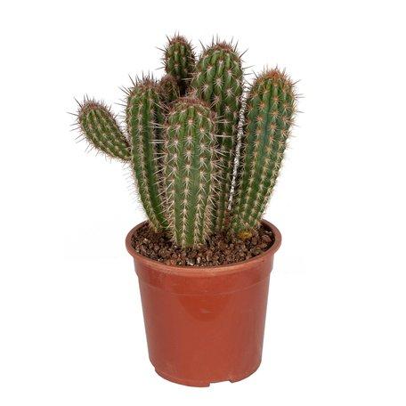 Cactus - Pilosocereus gounelii - Hoogte: 50cm