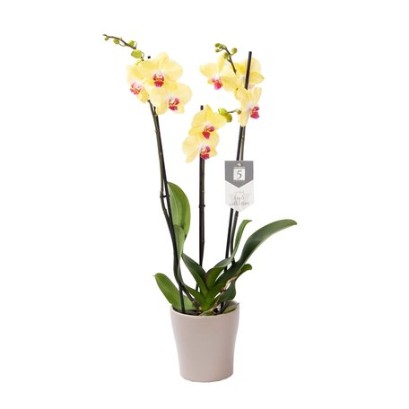 Vlinderorchidee - Phalaenopsis Limelight in Anna taupe pot
