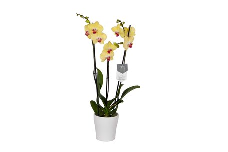 Vlinderorchidee - Phalaenopsis Limelight in Anna witte pot