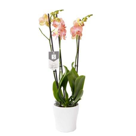 Vlinderorchidee - Phalaenopsis Ravello in Anna witte pot