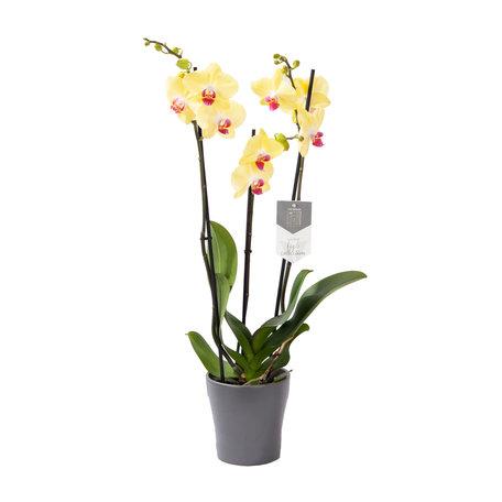 Vlinderorchidee - Phalaenopsis Limelight in Anna grey pot