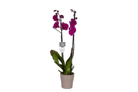 Vlinderorchidee - Phalaenopsis Joy Ride in Anna taupe pot