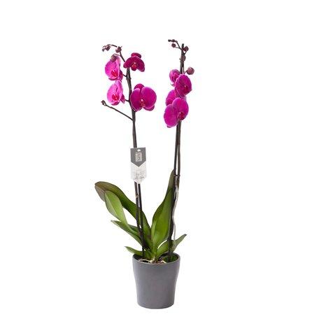 Vlinderorchidee - Phalaenopsis Joy Ride in Anna grijze pot
