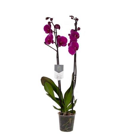 Vlinderorchidee - Phalaenopsis Joy Ride